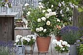 Rosa Renaissance 'Nina' weiß (Strauchrose), starker Duft