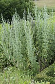 Artemisia absinthium 'Lambrook Silver' (Edelraute)