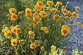 Gaillardia x grandiflora 'Orange and Lemons' (Kokardenblume