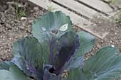 Großer Kohlweißling (Pieris brassicae) legt Eier auf Rotkohl (Brassica)
