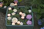 Mini - Teich mit Nymphaea (Seerose), Blüten von Rosa (Rosen)