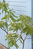 Murraya koenigii (Indisches Curryblatt), frische Blätter werden als Gewürz