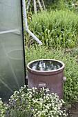 Regenwasser vom Gewächshaus - Fallrohr in braunem Steingutfass sammeln