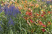 Veronica longifolia 'Blauriesin' (Wiesen - Ehrenpreis) und Hemerocallis