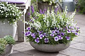 Graue Schale mit Dianthus chinensis Diana 'Lavender Picotee'