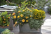 Rosa 'Yellow Pagode' (Zwergrose) von Poulsen, Tagetes tenuifolia