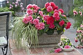 Begonia tuberhybrida New Star 'Rose' (Knollenbegonie) und Carex hachijoensis