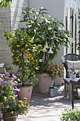 Duftterrasse mit Datura (Engelstrompete), Citrus sinensis