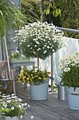 Argyranthemum frutescens (Margerite - Stamm) unterpflanzt mit Calibrachoa