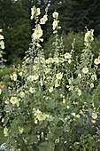 Alcea rugosa (Gelbe Stockrose, Russische Stockrose)