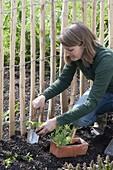 Frau pflanzt Wicken an ländlichen Staketen-Zaun
