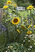 Helianthus 'Quarz' (Sonnenblumen) am Zaun, Agastache 'Blue Fortune'