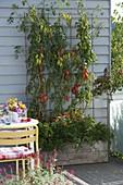 Tomate 'Himmelsstuermer' (Lycopersicon) schlanke, dickwandige Tomaten
