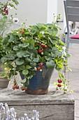 Frau pflanzt Erdbeeren in großen Kübel