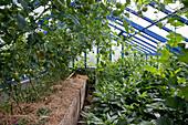 Gewächshaus mit Tomaten (Lycopersicum) gemulcht mit Stroh , Melonen (Cucumis) und Pepino, Melonenbirne (Solanum muricatum)