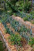 Mit Stroh gemulchte Gemuesebeete bepflanzt mit Porree, Lauch (Allium porrum) und Zinnia 'Sombrero' (Zinnien), Beeteinfassung aus Brettern