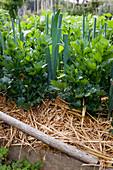 Gemüse in Mischkultur : Sellerie (Apium) und Porree, Lauch (Allium porrum) mit Stroh gemulcht