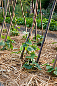 Stangenbohnen Jungpflanzen (Phaseolus) an Klettergerüst aus Bohnenstangen, mit Stroh gemulcht
