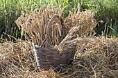 Korb mit frisch geschnittenen Weizen - Ähren (Triticum)