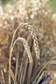 Weizen - Ähren (Triticum)