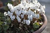 Cyclamen hederifolium 'Album' (Herbst - Alpenveilchen)