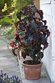 Akashiso (Perilla frutescens var.crispa)