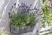 Metall - Kasten mit Lavendel 'Hidcote Blue' (Lavandula), Salbei (Salvia)