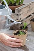 Stevia durch Stecklinge vermehren
