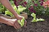 Kopfsalat im Spätsommer ins Beet pflanzen