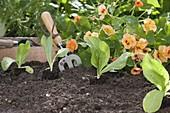 Zuckerhutsalat (Cichorium intybus var. foliosum) im Spätsommer pflanzen
