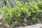 Knollensellerie (Apium graveolens) im Beet