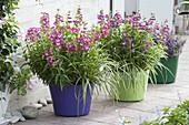 Penstemon hartwegii 'Bicolor Sensation' (Bartfaden) und Carex morrowii