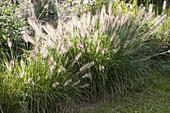 Pennisetum alopecuroides 'Hameln' (Federborstengras)