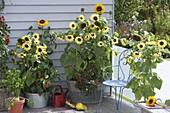 Sonnenblumenbalkon : Helianthus 'Garden Statement' 'Sonja' (Sonnenblumen)