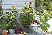 Sonnenblumenbalkon : Helianthus 'Garden Statement' 'Sonja' (