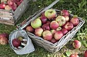 Apfelernte : frisch gepflueckte Äpfel (Malus) in Korb