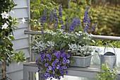 Spaetsommerkasten in violet und silbergrau bepflanzt