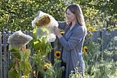Frau deckt Blütenkopf von Helianthus (Sonnenblumen) mit Vlies ab