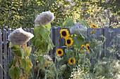 Bluetenköpfe von Helianthus (Sonnenblumen) mit Vlies abdecken