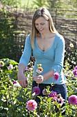 Frau schneidet verblühte Blüten von Dahlia (Dahlien) ab