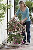 Frau schüttelt verblühte Blüten von Fuchsia (Fuchsie)