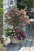 Schatten-Terrasse mit Fuchsia (Fuchsie) Stamm, unterpflanzt mit Impatiens