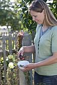 Frau erntet Samen von Alcea rugosa (Gelber Stockrose, Russischer Stockrose)