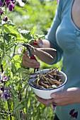 Frau schneidet ausgereifte Samenstände von Lathyrus odoratus (Duftwicken)
