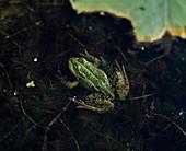 Wasserfrosch (Rana esculenta) am Teich