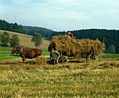 Heu einbringen mit Pferden und Leiterwagen wie zu Oma's Zeiten