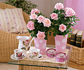 Rosa chinensis / Topfrosen
