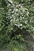 Weissbluehende Rosa multiflora (Kletterrose)