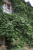 Hausfassade bewachsen mit Aristolochia (Pfeiffenwinde),