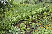 Bauerngarten mit Roten Beten (Beta vulgaris), Buschbohnen (Phaseolus)